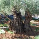 Гефсеманский сад, Иерусалим