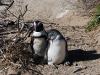 Южноафриканские пингвины