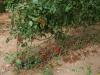 Помидорное и овощеводческое хозяйство, Пустыня Негев