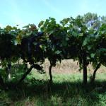 Виноградники по пути в Редонделу