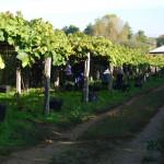 Сбор винограда в Галисии