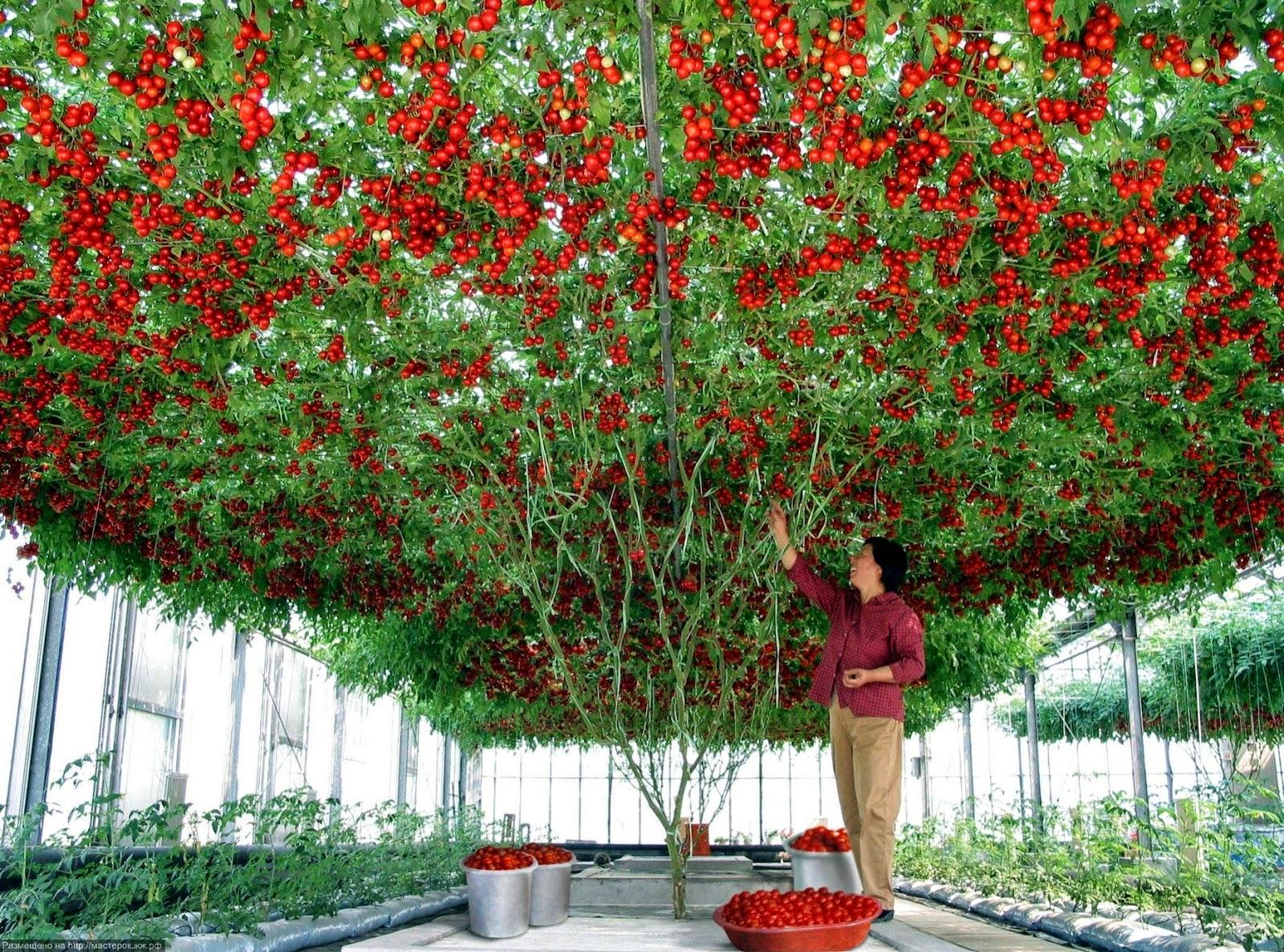 Что сделать чтобы зелёные помидоры покраснели? 26